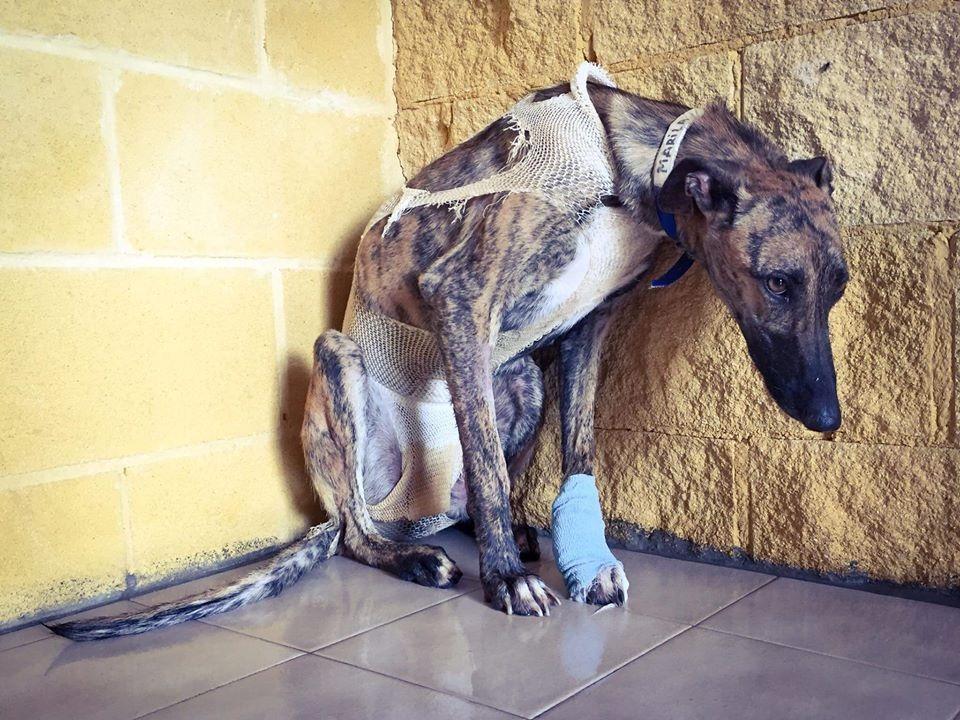 Marila, galgo rescatado en la Fundación Benjamín Mehrert